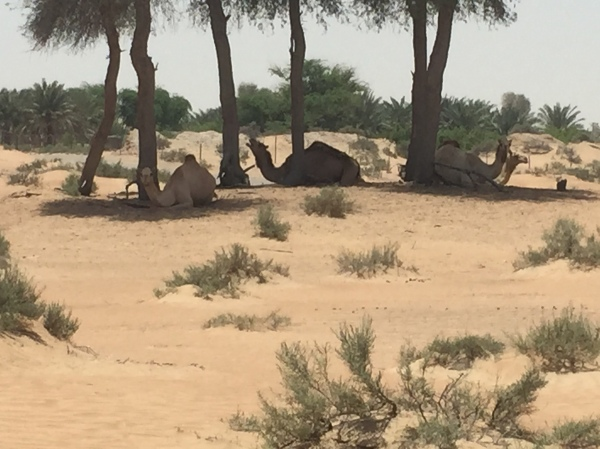 Camels in the shade