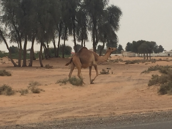 Camel on the way to Fujairah