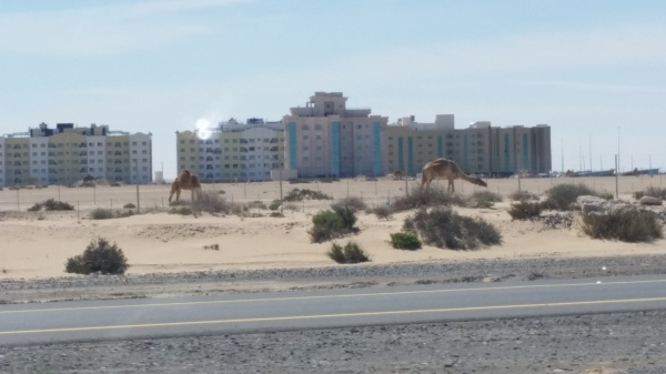 Camel on the way to work.jpg